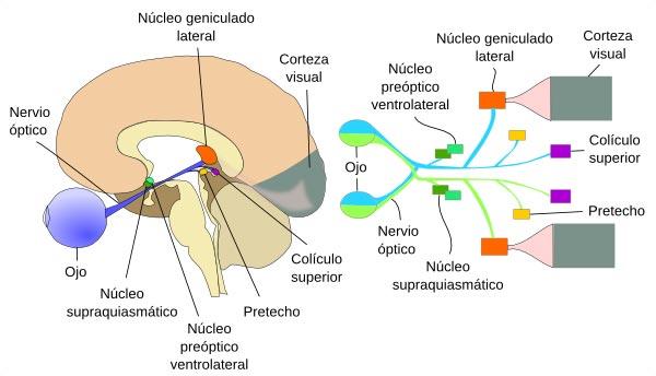 Cerebro y nervios ópticos