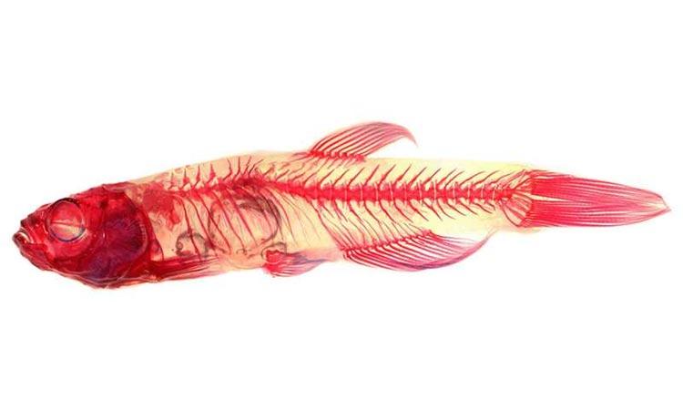pez cebra con escoliosis inducida