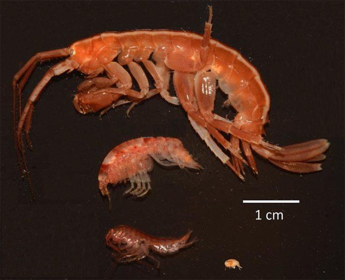 Paraceradocus miersi, Shraderia gracilis, Probulisca ovata y Prostebbingia brevicornis