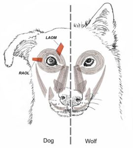 Comparación: expresión facial de perros y lobos