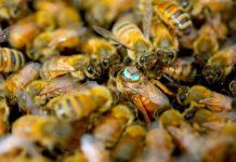 Reina abeja en una colmena con un sensor
