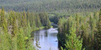 Bosques de coníferas