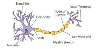 Estructura de la neurona típica
