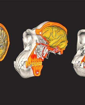 Datos de CT / MRI de humano, chimpancé y gorila