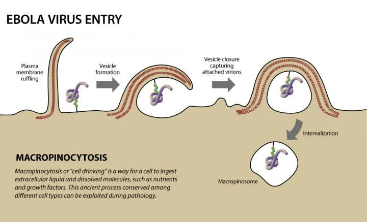 Entrada del virus ébola a una célula