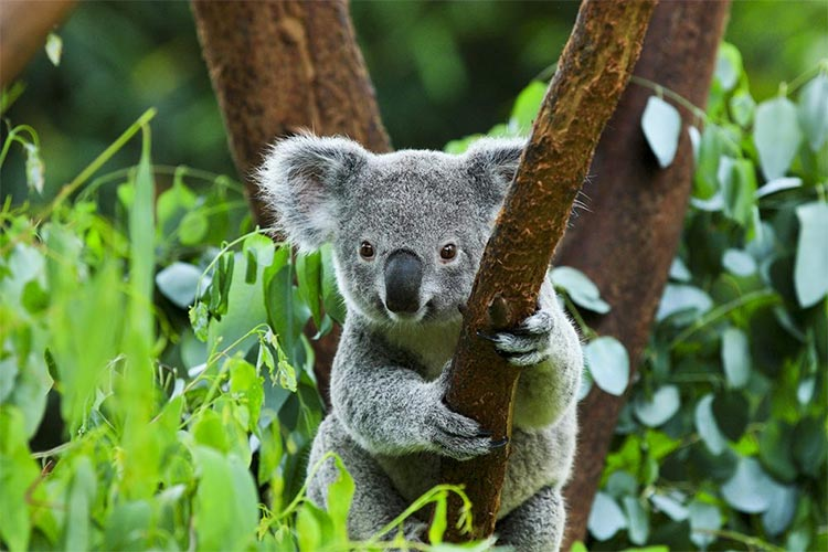 Phascolarctos cinereus, koala
