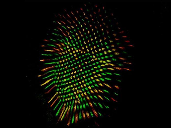 Retina de mosca que muestra todos los fotorreceptores R8 en verde y los receptores y R8 en rojo