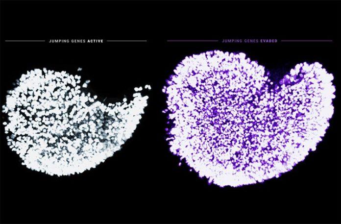 Óvulos con el desgaste de los ovocitos fetales activado y sin él