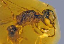 Fósil de abeja primitiva de hace 100 millones de años
