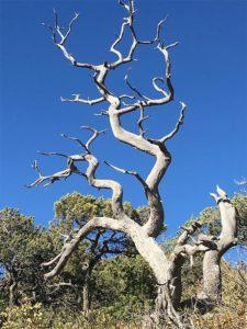 Juniperus deppeana muerto en Arizona