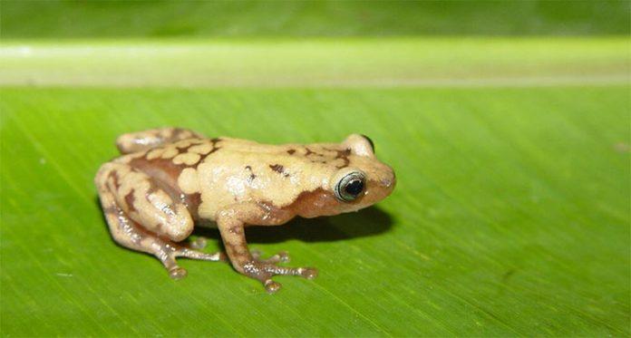 La rana arbórea gigante común de Madagascar es una de las muchas especies afectadas por el cambio climático reciente