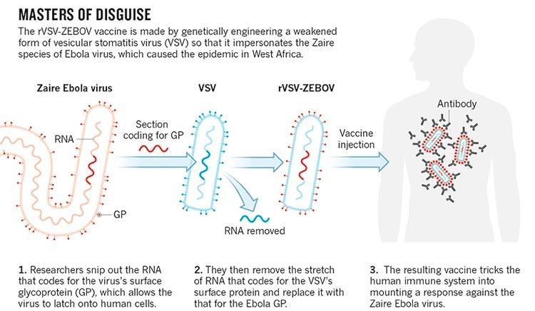 Vacuna contra el ébola rVSV-ZEBOV
