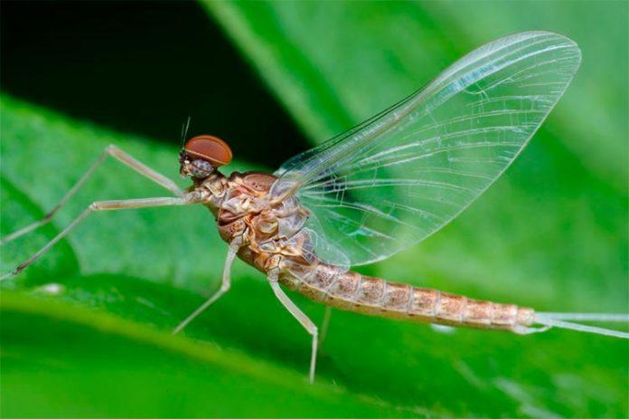 El insecto Ephemeroptera