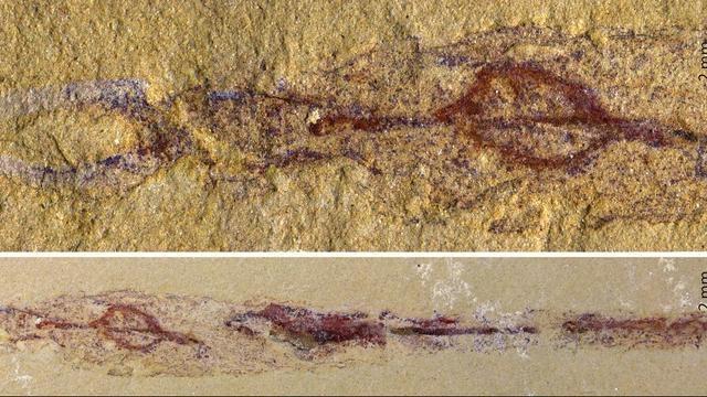 Fósil de Dannychaeta tucolus