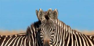 Ilusión óptica con dos cebras