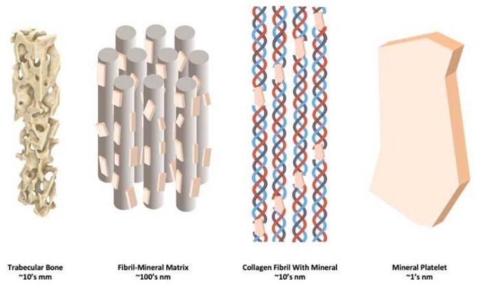 Osteoporosis: Cómo los minerales rígidos y las fibrillas de colágeno flexibles se combinan a nanoescala para formar hueso