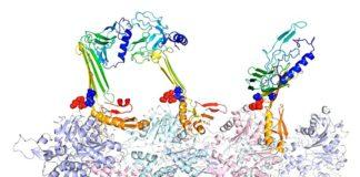 Los investigadores de la Universidad de Rice modelaron las estructuras de unión de la actina y las proteínas asociadas que creen que son responsables de la formación de la memoria a largo plazo.