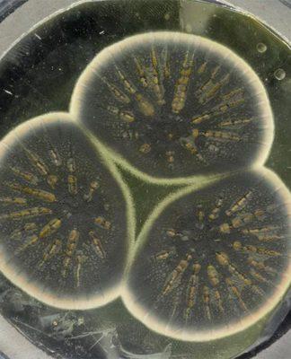 El moho volvió a crecer a partir de la muestra congelada de Fleming, listo para producir penicilina
