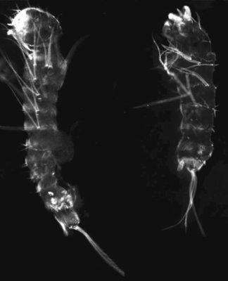 Exoesqueleto de una larva de mosquito normal a la izquierda y una larva de mosquito con el gen de la grosella espinosa editado a la derecha