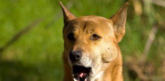 Perro cantor de Nueva Guinea