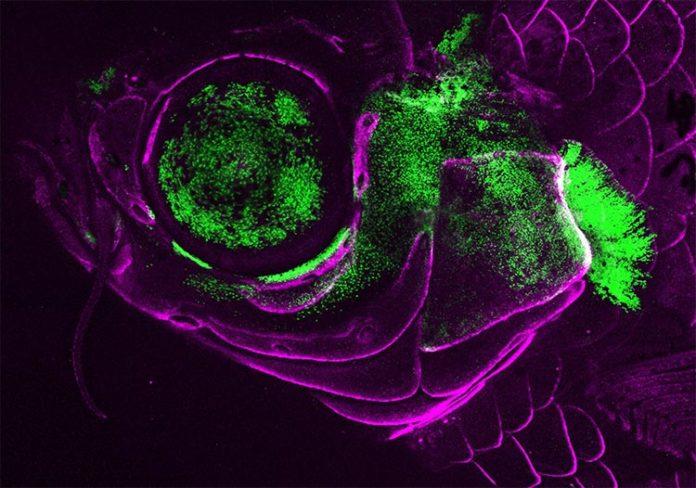 Un pez cebra adulto vivo que muestra la actividad del gen Pou3f3 (verde) en la cubierta branquial, el esqueleto de soporte de la mandíbula y el ojo. Las células formadoras de hueso están marcadas en magenta