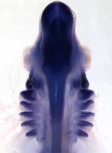 Un pequeño embrión de raya (Leucoraja erinacea) que muestra la actividad del gen Pou3f3 en el sistema nervioso central, así como los cinco pares de cubiertas branquiales nacientes