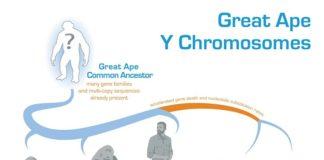 Evolución del Cromosoma Y en los grandes simios y en los humanos