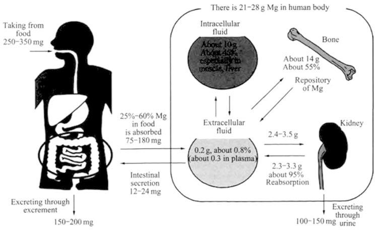 Distribución del equilibrio dinámico de absorción y excreción del magnesio en el cuerpo humano