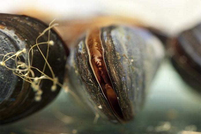 Los mejillones marinos se utilizan comúnmente para controlar la calidad del agua en las zonas costeras