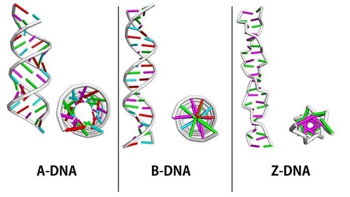 Variaciones en la estructura del ADN: ADN-A, ADN-B y ADN-Z