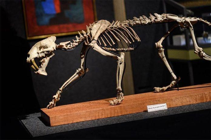 Esqueleto de tigre dientes de sable descubierto en 2019 en un rancho de Dakota del Sur.