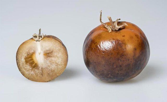 Fruta de tomate enriquecida con L-DOPA para tratar el Parkinson