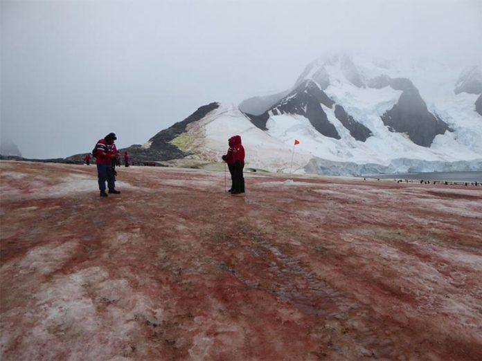 Las algas rojas y verdes de la nieve aumentan el deshielo en la Península Antártica