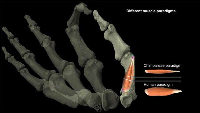 Diferencia entre los modelos de músculos del pulgar de humanos y chimpancés, que los investigadores utilizaron para estudiar la evolución de la destreza del pulgar