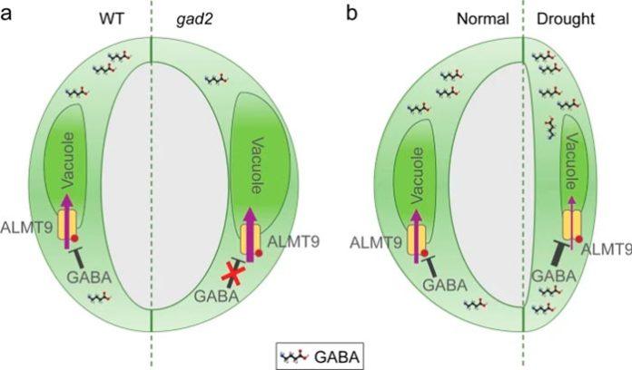 Modelo propuesto de señalización mediada por GABA para la regulación de la eficiencia en el uso del agua
