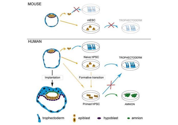 Diferencias entre la formación del embrión humano y el de ratón