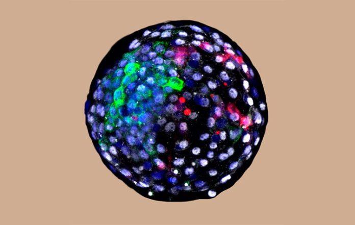 Embriones quiméricos: quimera blastocisto humano-mono