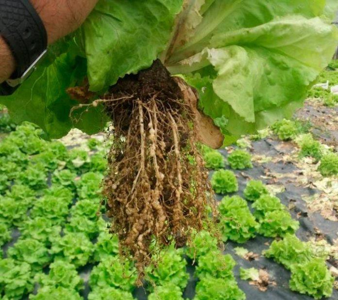 Agallamiento de la raíz causado por la infestación de nematodos agalladores