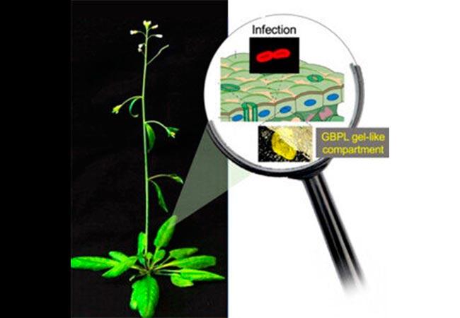 Los GBPL de plantas generan compartimentos en forma de gel para la activación de genes de defensa contra la infección