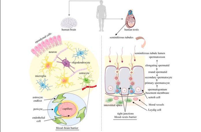 Resumen de la organización celular del cerebro y los testículos humanos