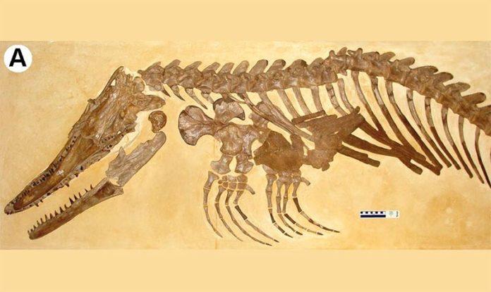 Los investigadores de la UC identificaron al mosasaurio como perteneciente al mismo género que Ectenosaurus clidastoides, en la foto