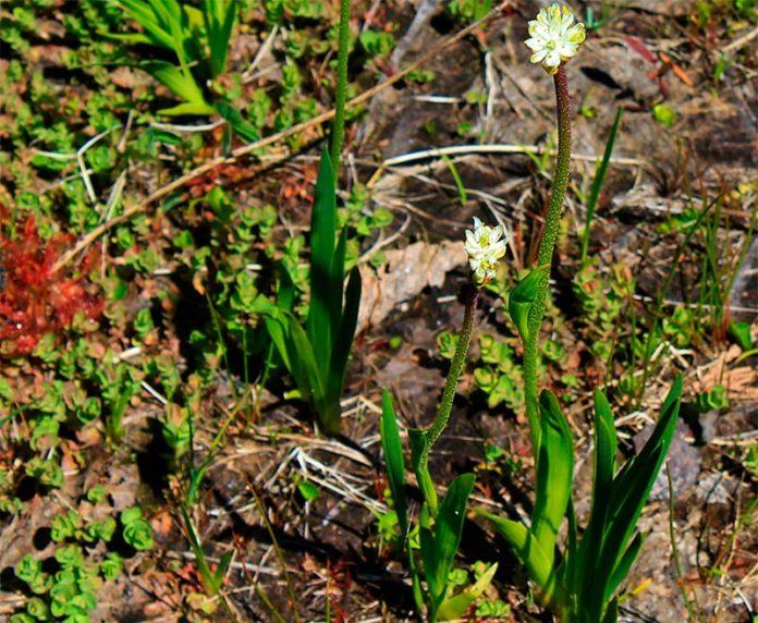 La planta carnívora Triantha occidentalis produce tallos florales con pelos pegajosos que pueden atrapar insectos. Una nueva investigación confirma que la planta puede digerir estas presas atrapadas