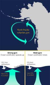 Acidificación de los océanos: Este gráfico del giro subpolar del Pacífico norte en el Golfo de Alaska muestra cómo la fuerza del giro puede acelerar o ralentizar la acidificación del océano en función de la cantidad de dióxido de carbono que llega a la superficie del océano