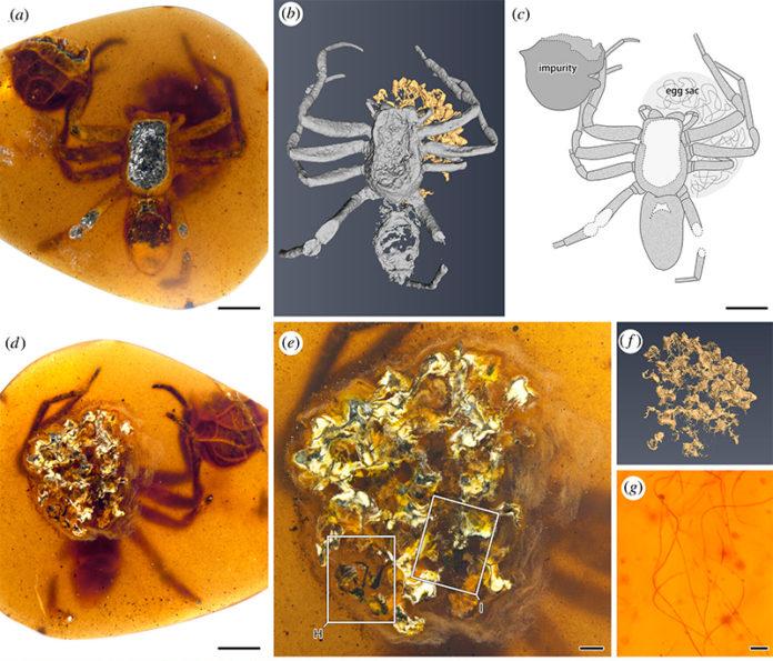 Fotografías y dibujos de una araña lagonomegopide (CNU-ARA-MA2016101) y saco de huevos en ámbar birmano CNU009432