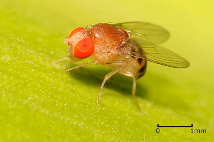 Drosophila melanogaster, la mosca de la fruta