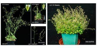 Plantas zombis: El efector de fitoplasma SAP05 induce la escoba de bruja en Arabidopsis