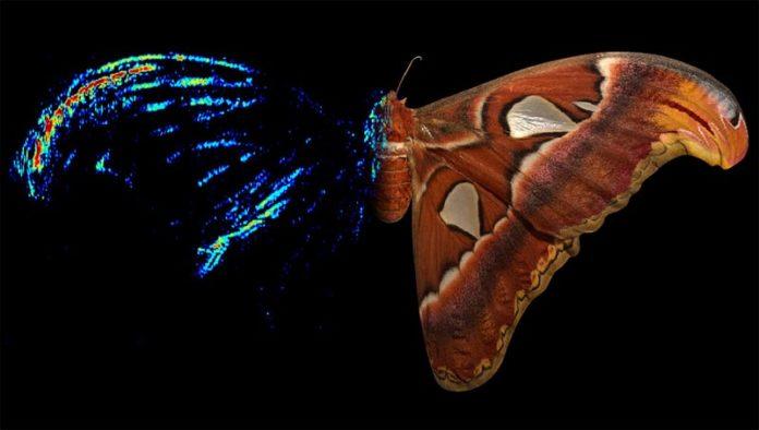 La polilla Atlas (Attacus atlas), una polilla de seda, tiene un fuerte señuelo acústico anti-murciélago en la punta de sus alas delanteras