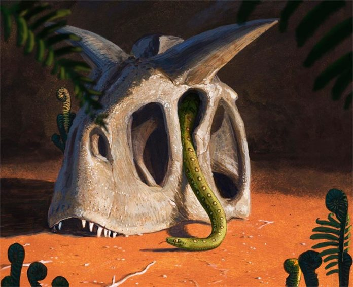 Todas las serpientes vivientes evolucionaron a partir de un puñado de especies que sobrevivieron al impacto de un asteroide gigante que acabó con los dinosaurios y la mayoría de los seres vivos al final del Cretácico