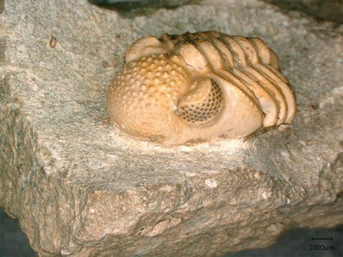 Phacops geesops, un trilobite del Devónico. Los ojos del animal constan de 200 lentes individuales cada uno, que abarcan seis pequeñas facetas, que nuevamente forman un ojo cada una