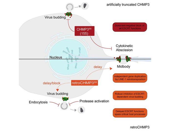 RetroCHMP3 bloquea la gemación de virus envueltos como el VIH y el Ébola sin bloquear la citocinesis